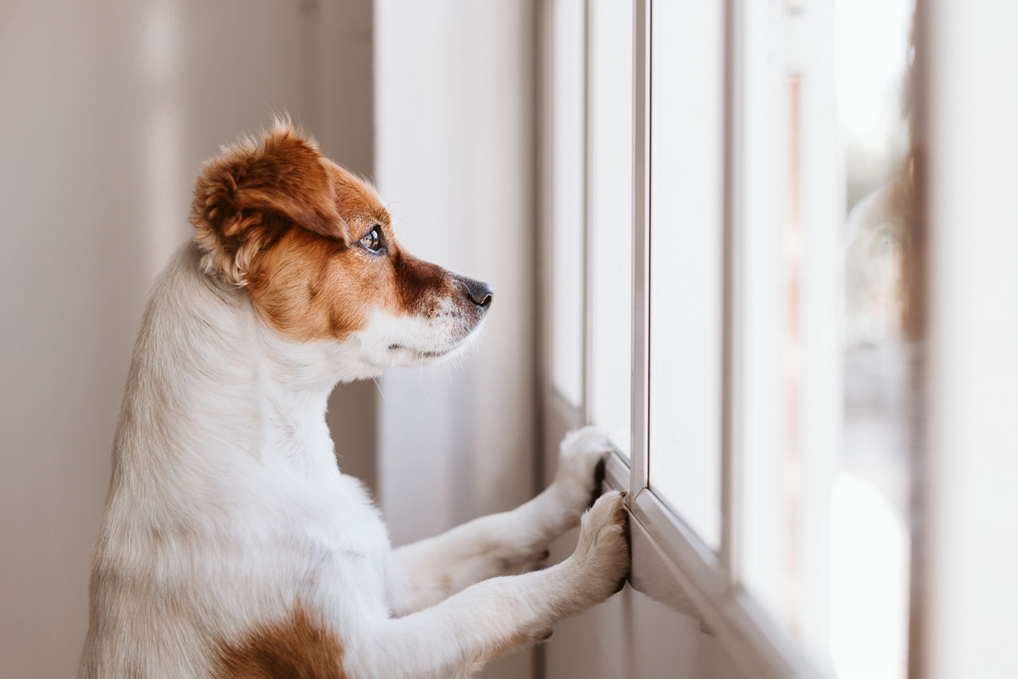 Dog standing on two legs and looking out the window